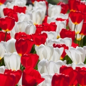 White Hot Tulips